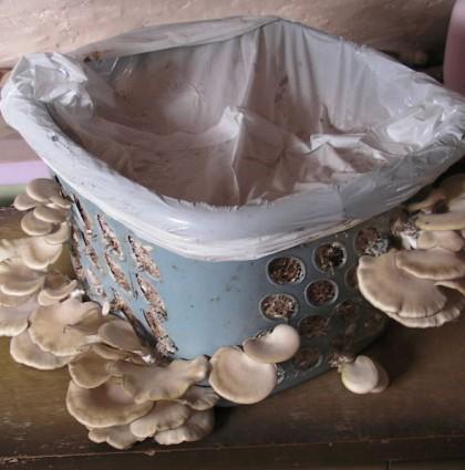 Growing Oyster Mushrooms