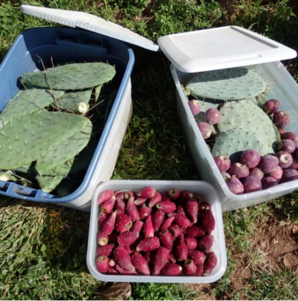 Preserving Prickly Pears