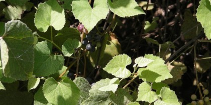 Using Wild Grapes